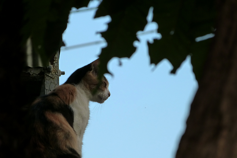 屋根の上で遠くを見てるネコ