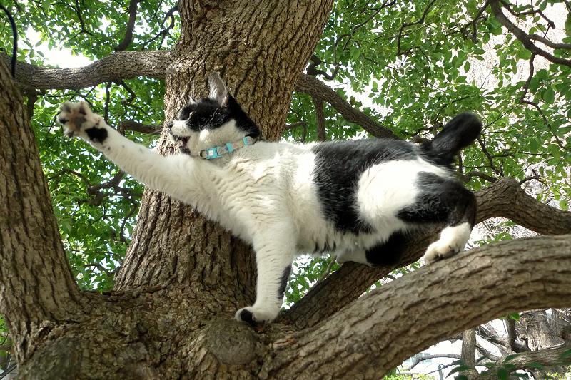 楠木に登ってゴム紐を捕まえようとするネコ