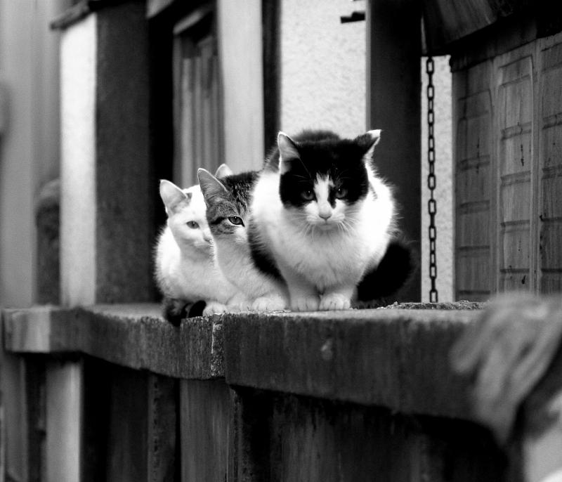 ブロック塀の上で思いっ切り睨む3匹のネコ