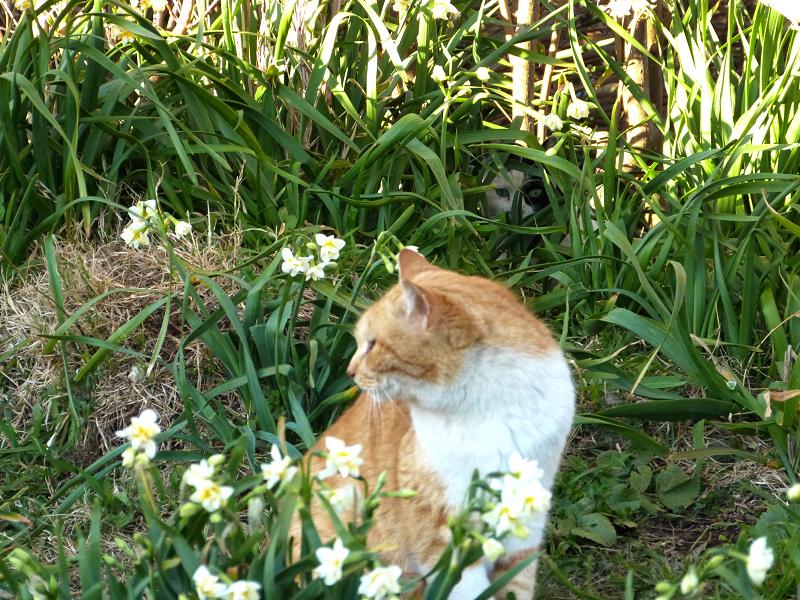 水仙の奥から見てるネコ