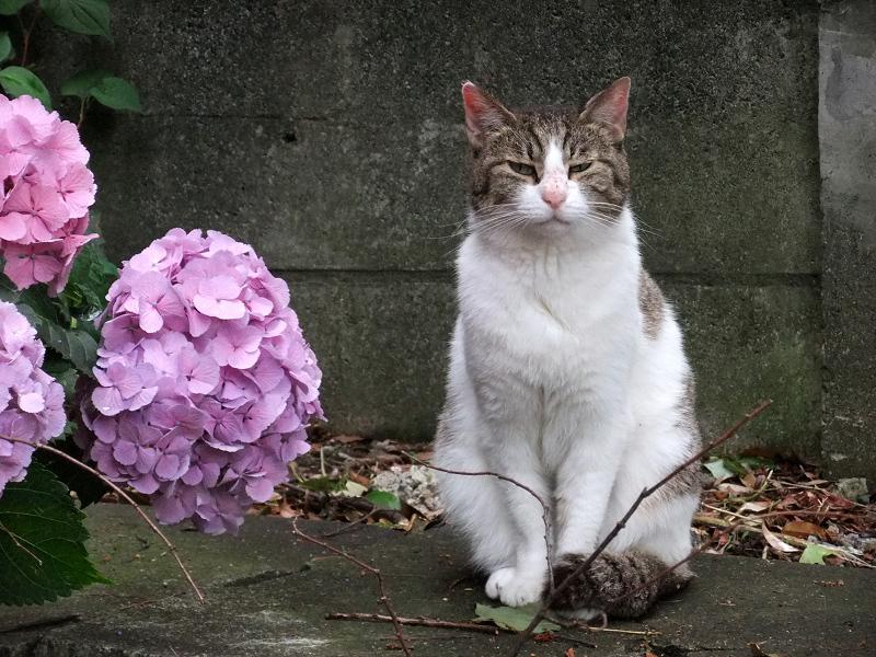アジサイあじさいと猫