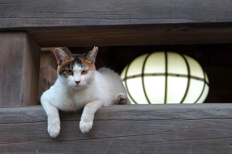 お寺の欄干から身を出して見てる猫