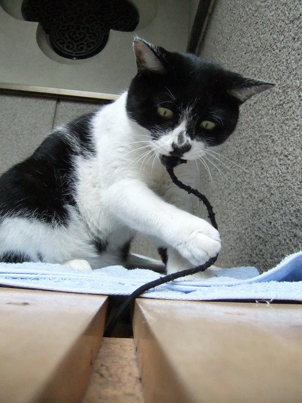 不思議顔でゴム紐をくわえてるネコ