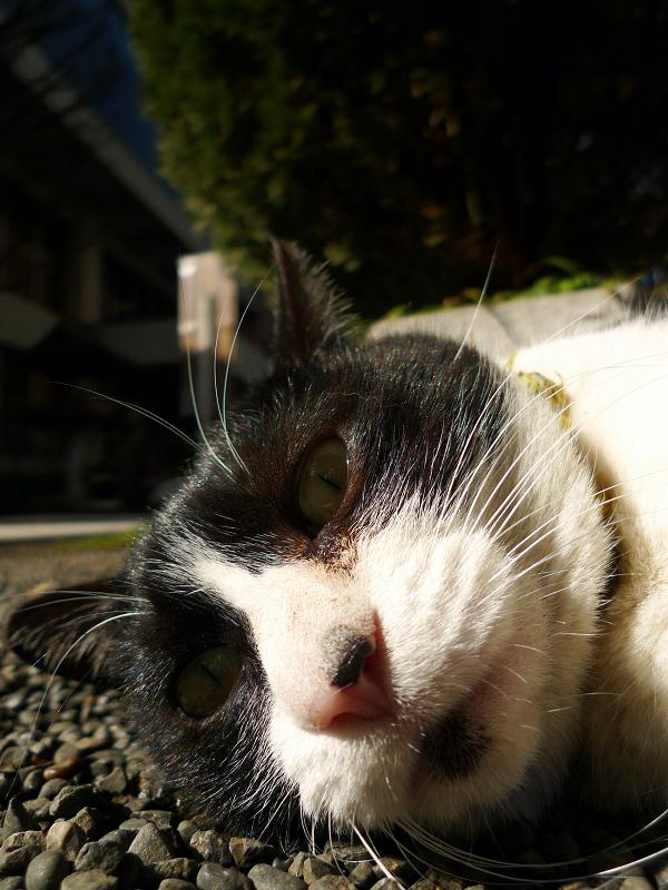 寝てるネコをローアングルで