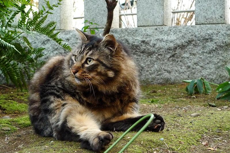 ペタンと座ってる毛長のネコ