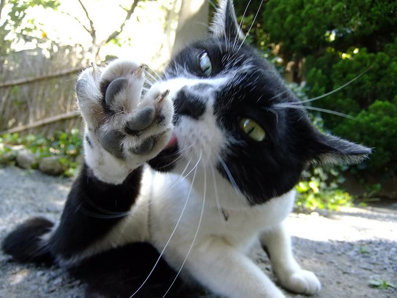 一心不乱に足の毛繕いに励む猫