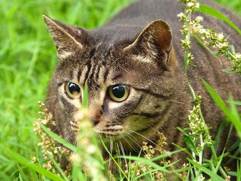 草むらで目を限界まで広げて睨む猫