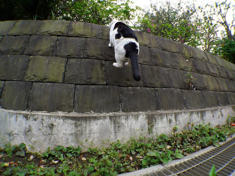 石垣に向かってジャンプする黒白猫