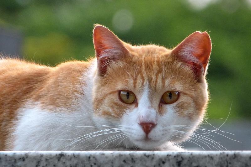 新緑を背景に茶白の猫を撮る