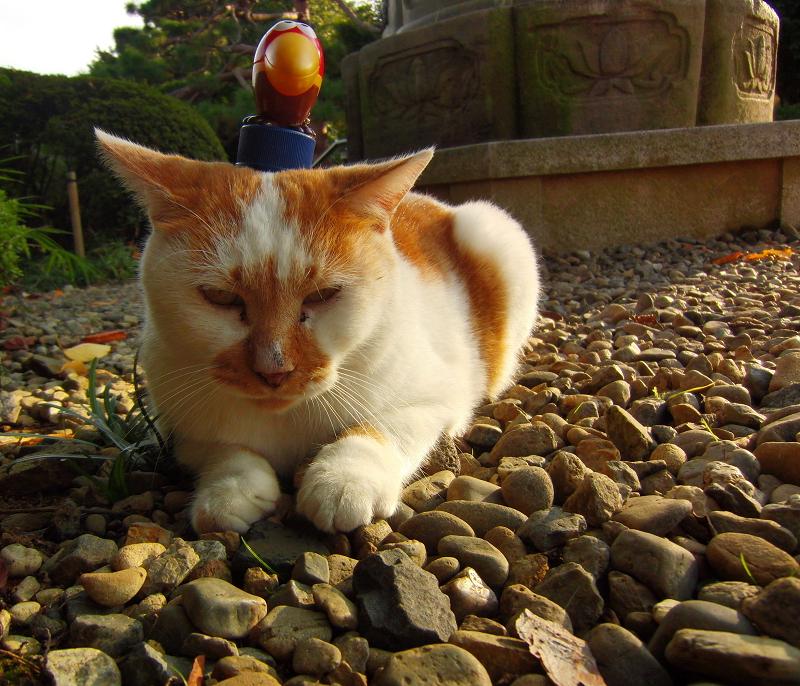 ボトルキャップを頭に乗せられたネコ