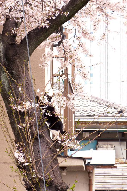 満開の桜の木に登る猫