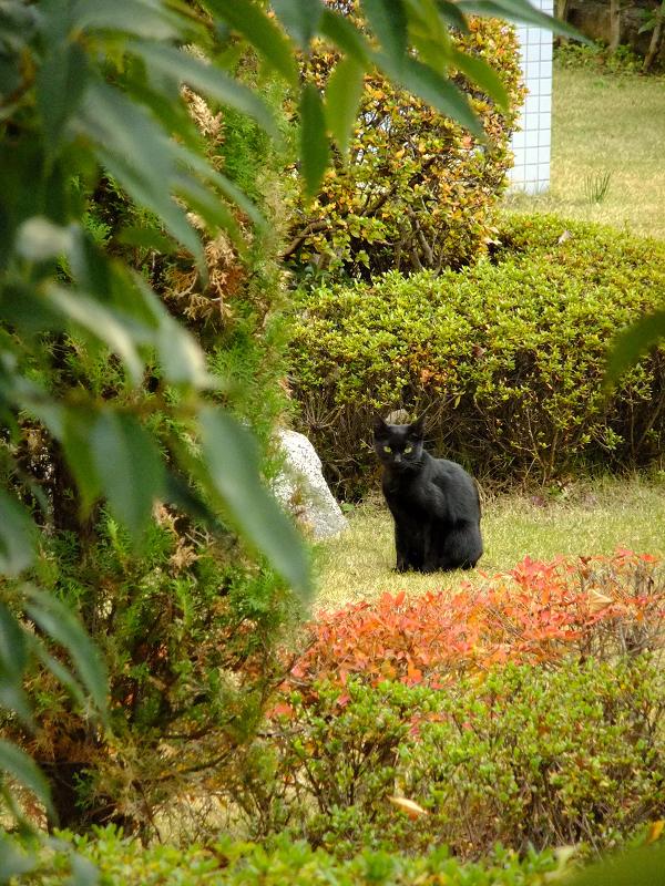 緑地帯で睨む黒ネコ