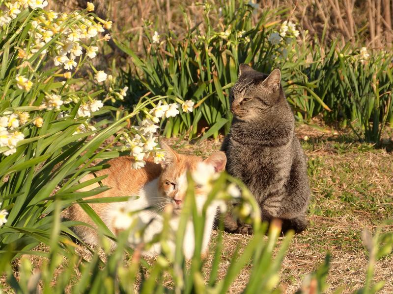 水仙の向こう側のネコたち
