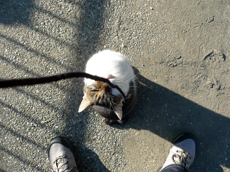 上を向いてゴム紐を見てるネコ