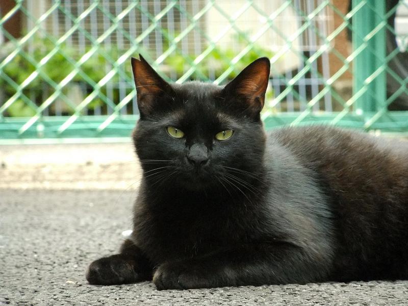 キッとした表情の黒猫