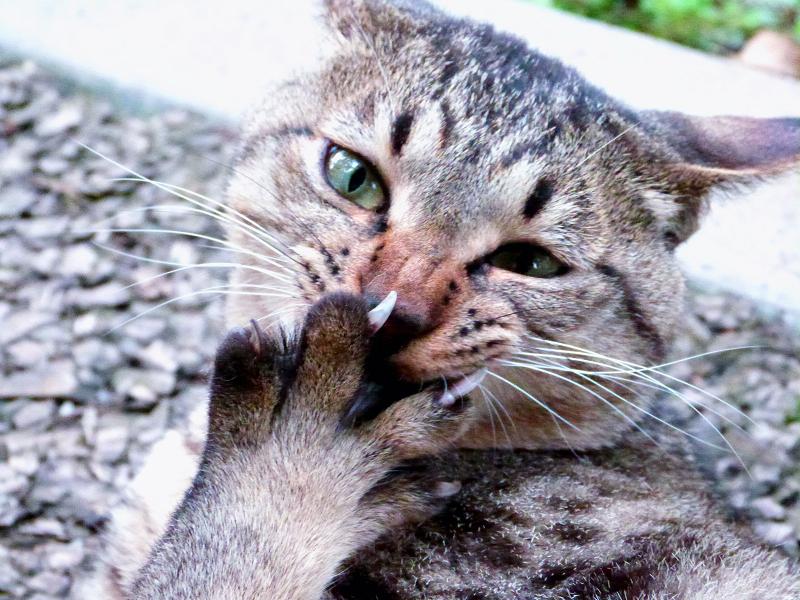 顔の前で指を広げて笑い顔風の猫