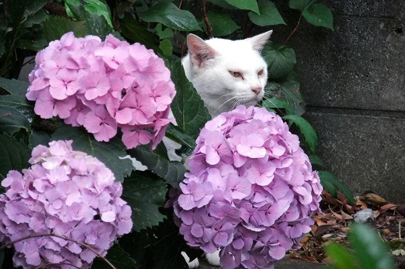 紫陽花の花の向こうから顔を出す猫