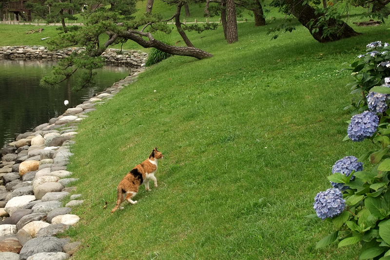 あじさい・アジサイが咲く庭園の芝生の上を歩く猫