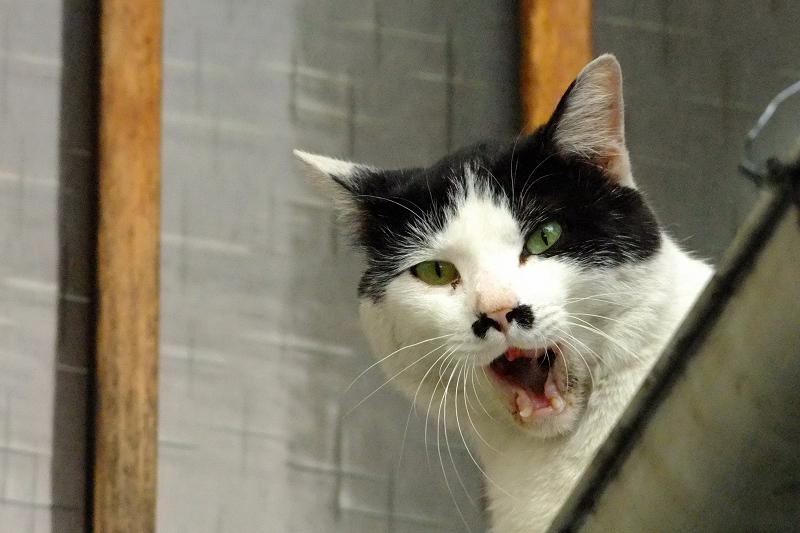 緩めのあくびアクビをする猫