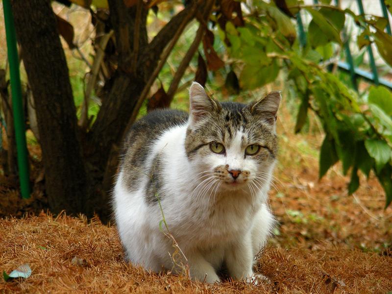 細かい落ち葉の上のネコ