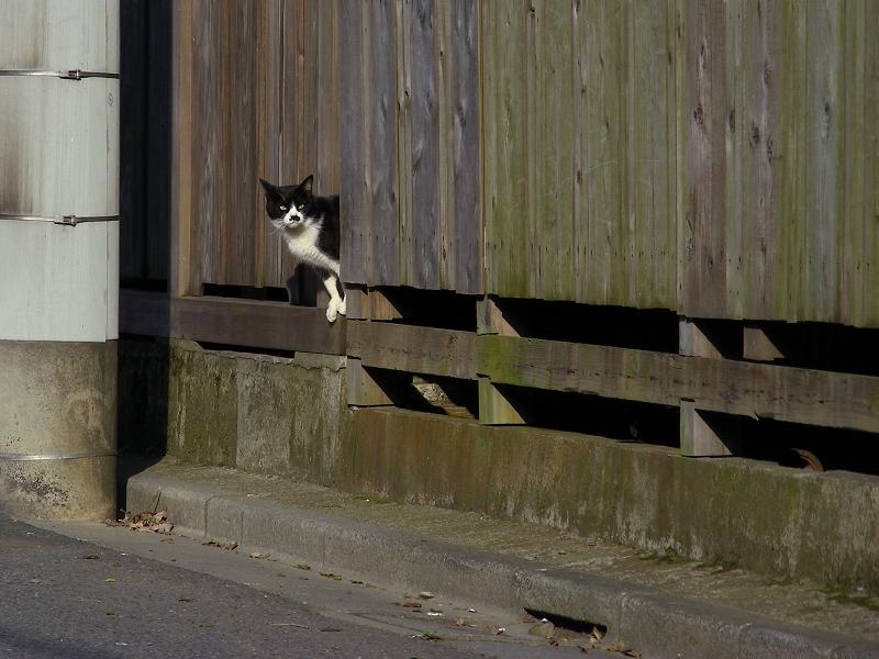 家の塀から外を確かめる黒白猫