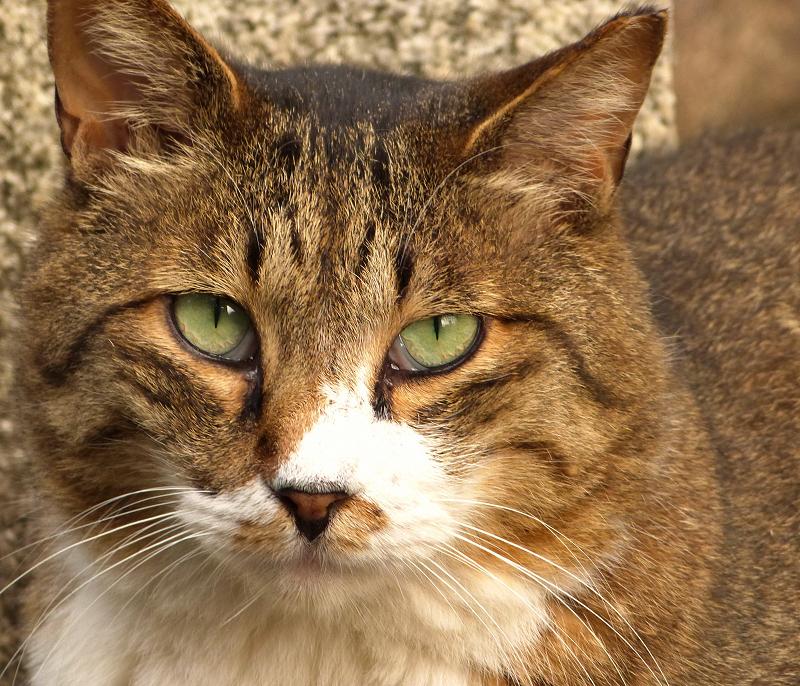 翡翠色の瞳でジーッと見つめる猫