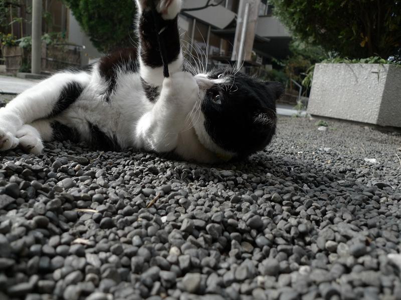 境内でゴム紐で遊ぶネコ