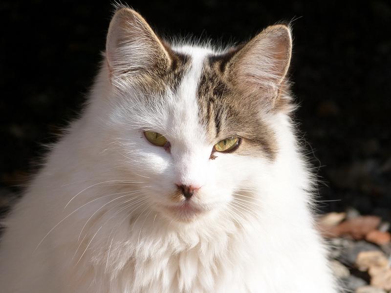 私をジーッと見つめる美人ネコ