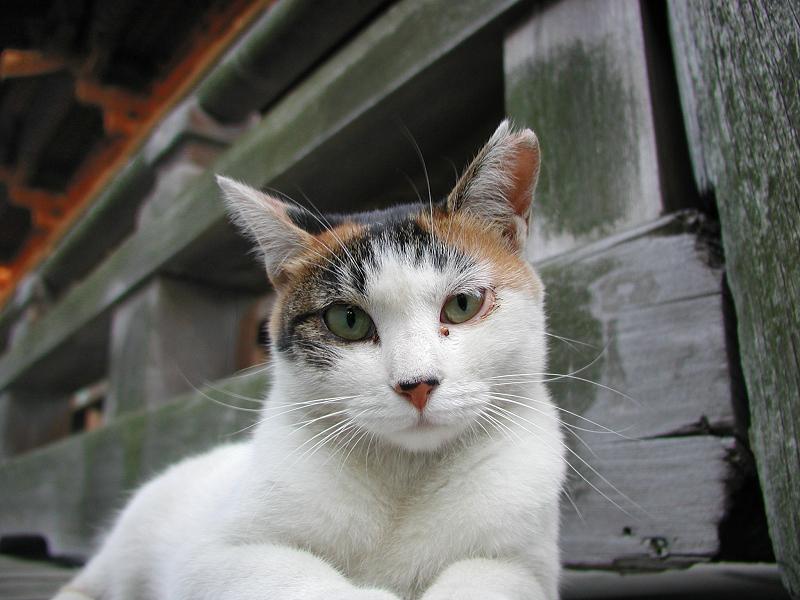 お寺の欄干からジーッと見つめる猫