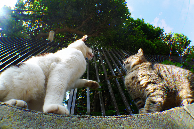 石垣の上で諍いをする猫2匹
