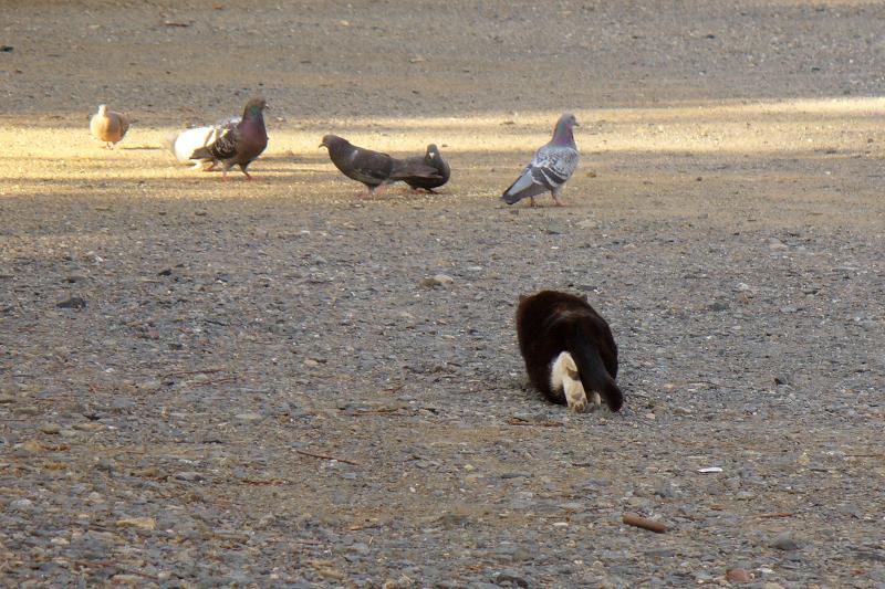 低い姿勢で鳩を狙ってる猫
