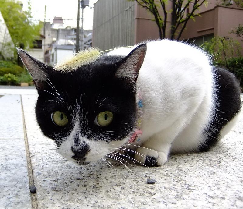 えのころ草を頭に置かれたネコ