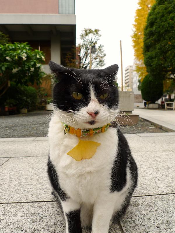 銀杏がネクタイのネコ