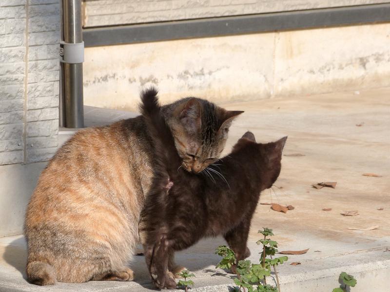 仔猫を舐める母ネコ