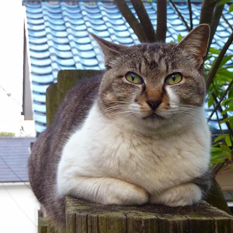 民家の木製門扉の上に腹ばう猫