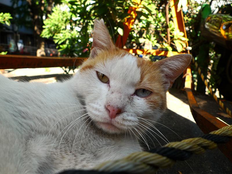茶白柄でオッドアイのネコ