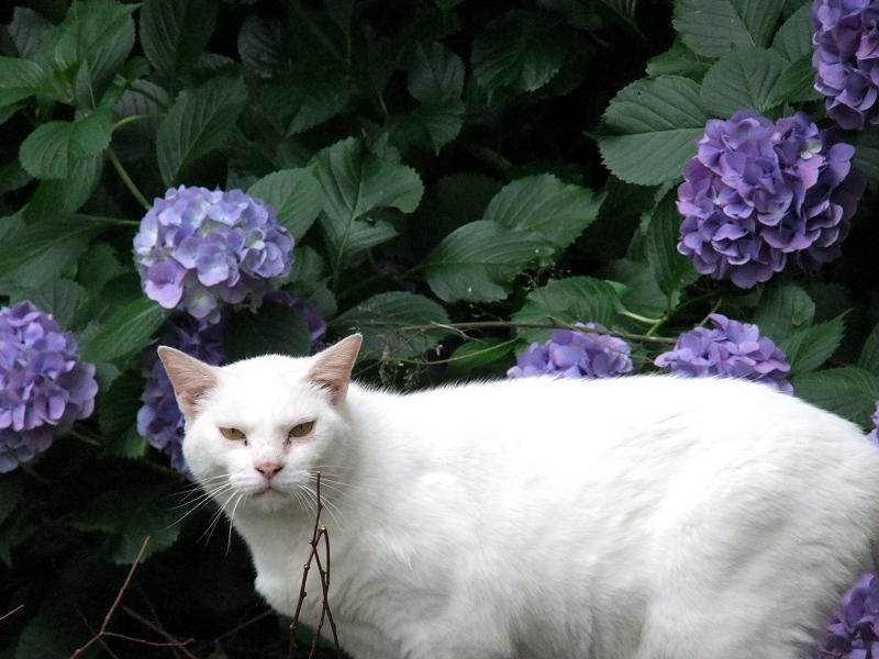 あじさい・アジサイの前で立ち止まる猫