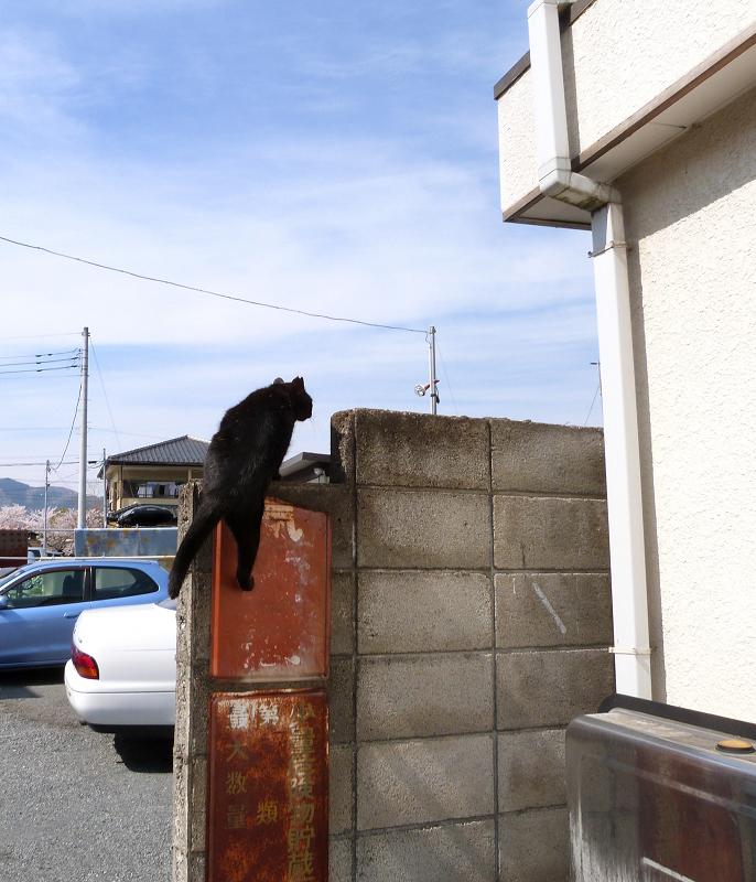 大急ぎでブロック塀によじ登る黒猫