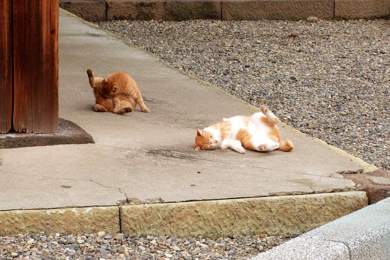 ゴロンと毛繕いの猫
