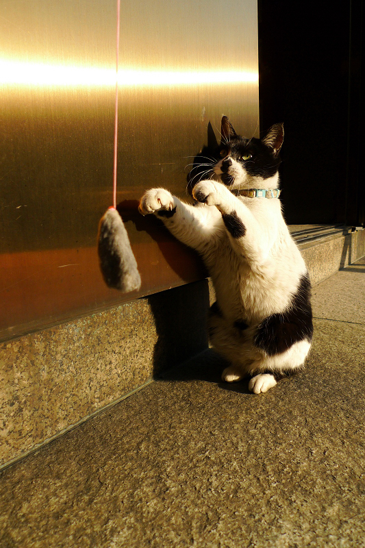 両手を前に出して立ち上がるネコ