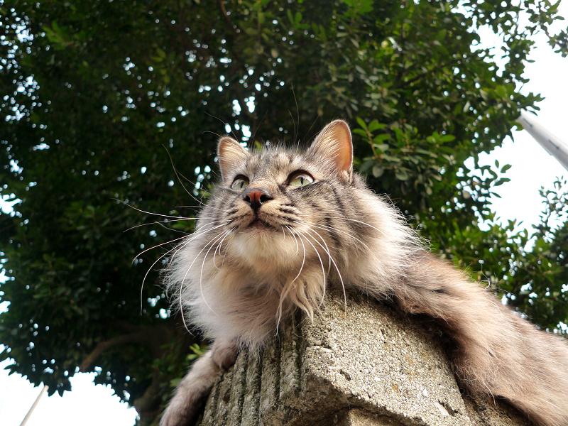 民家の塀の上で遠くを見てるネコ