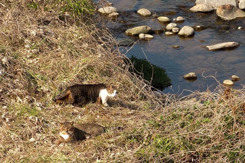 川原にいたネコたち