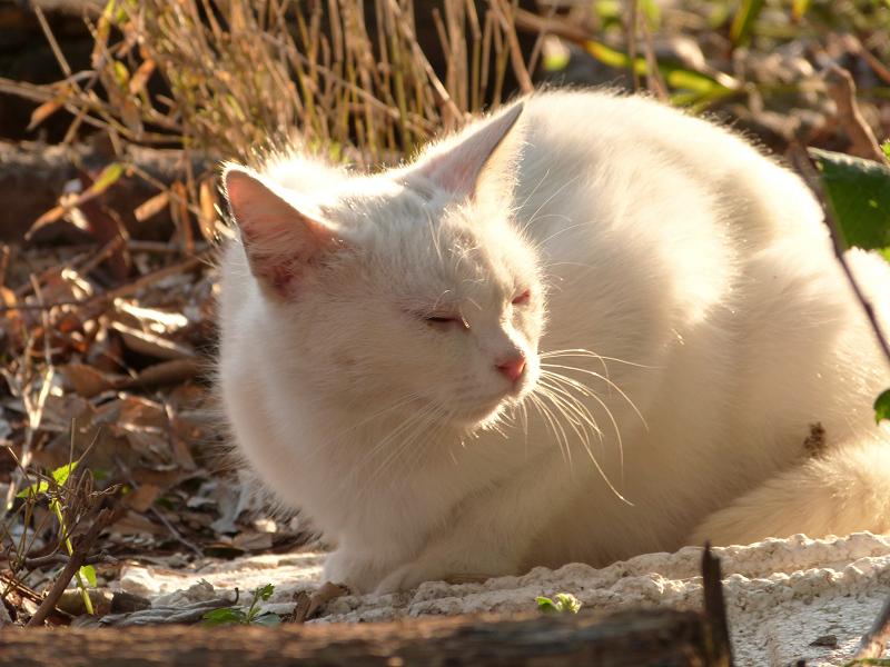 夕日を受けてうつらうつらする白猫