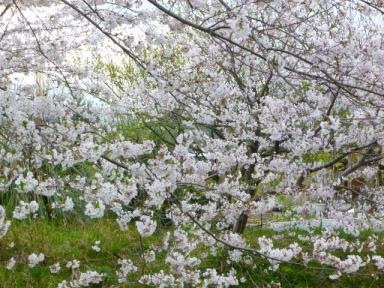 桜110410