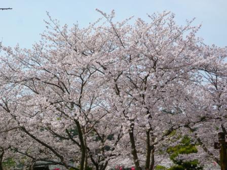 蓮華寺池桜