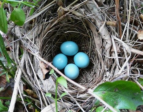 ガビチョウの卵