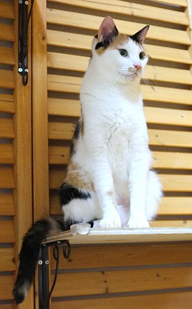 三毛猫マルイちゃんはスタイルも抜群!