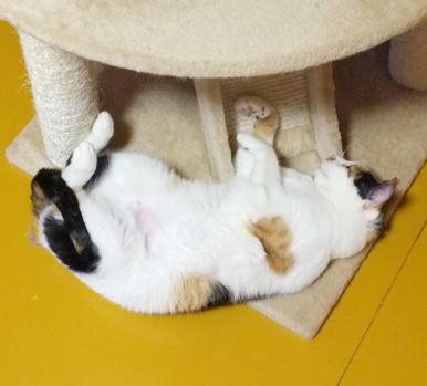 キャットタワーの下で寝るのがマルイブームなの