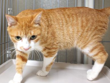 ユメホちゃんは茶白の猫で、目が大きく美人さんです