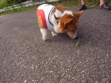 散歩カマキリ3